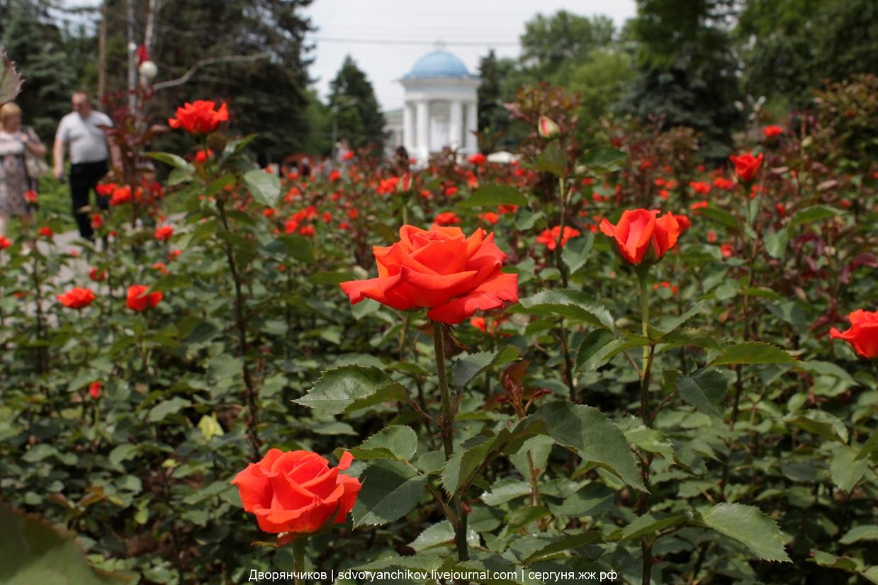 Волжский - Розы у ротонды - парк Гидростроитель