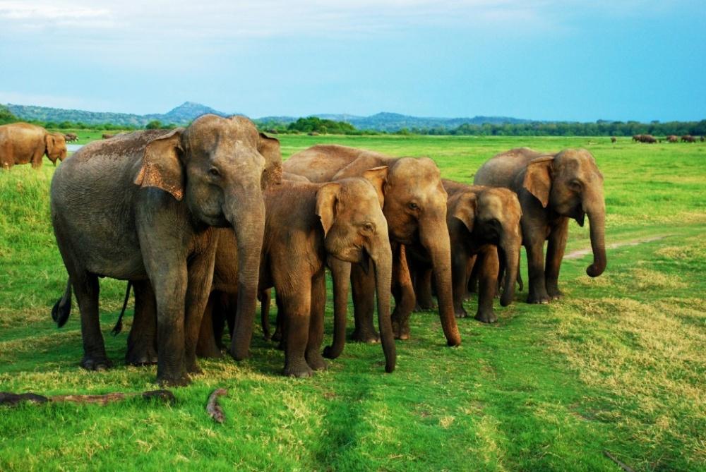 © agentika  Главной гордостью парка Миннерия вШри-Ланке является большая популяция слонов.