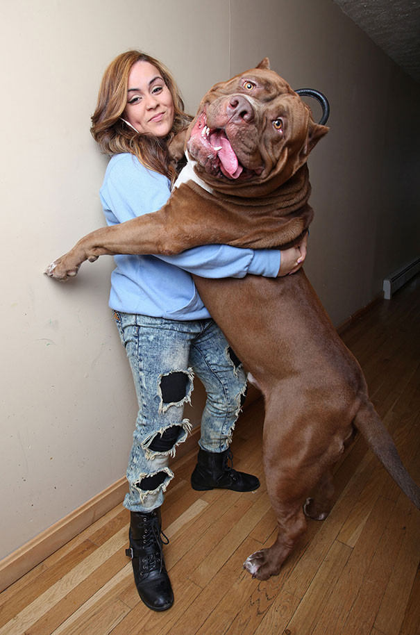50 собак внушительных размеров, которые не осознают, насколько они огромны (49 фото)