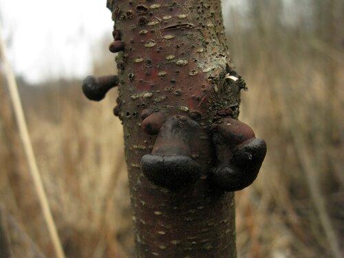 В одном из справочников прочитал, что этот вид уважает гари и произрастает исключительно на осинах и тополях. Эти грибы выросли на березе, но она была действительно горелой Автор фото: Станислав Кривошеев