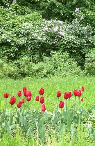 3_Сирень и тюльпаны.JPG