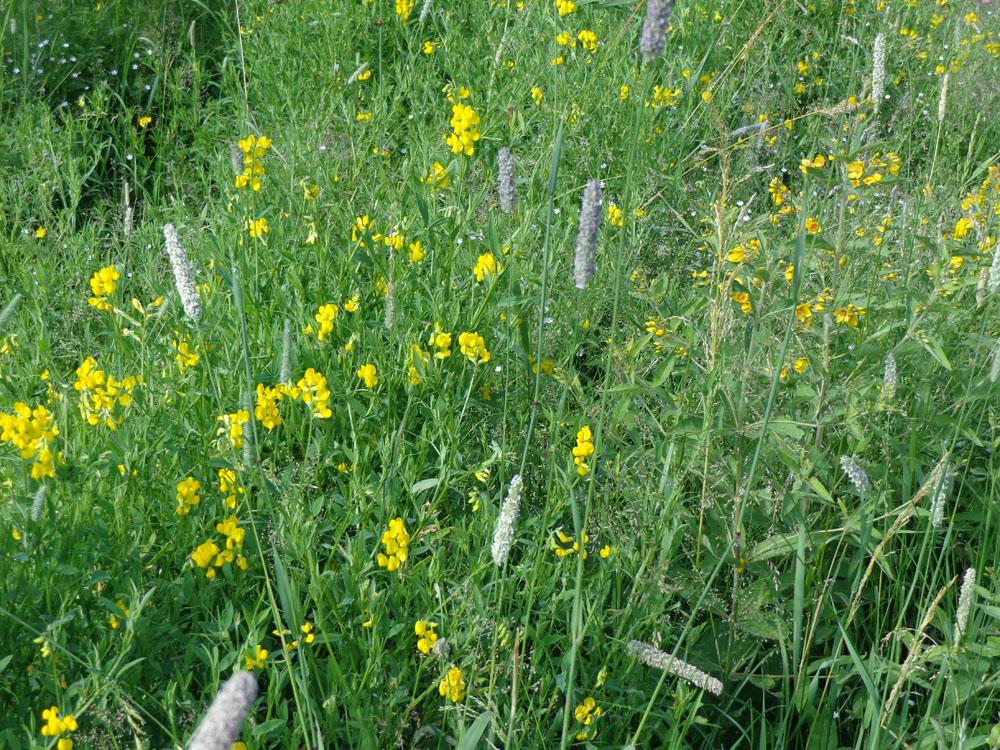 Луговые травы подмосковья фото с названиями