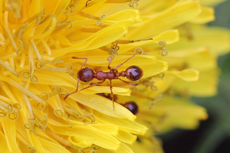 Рыжий муравей на лепестках одуванчика