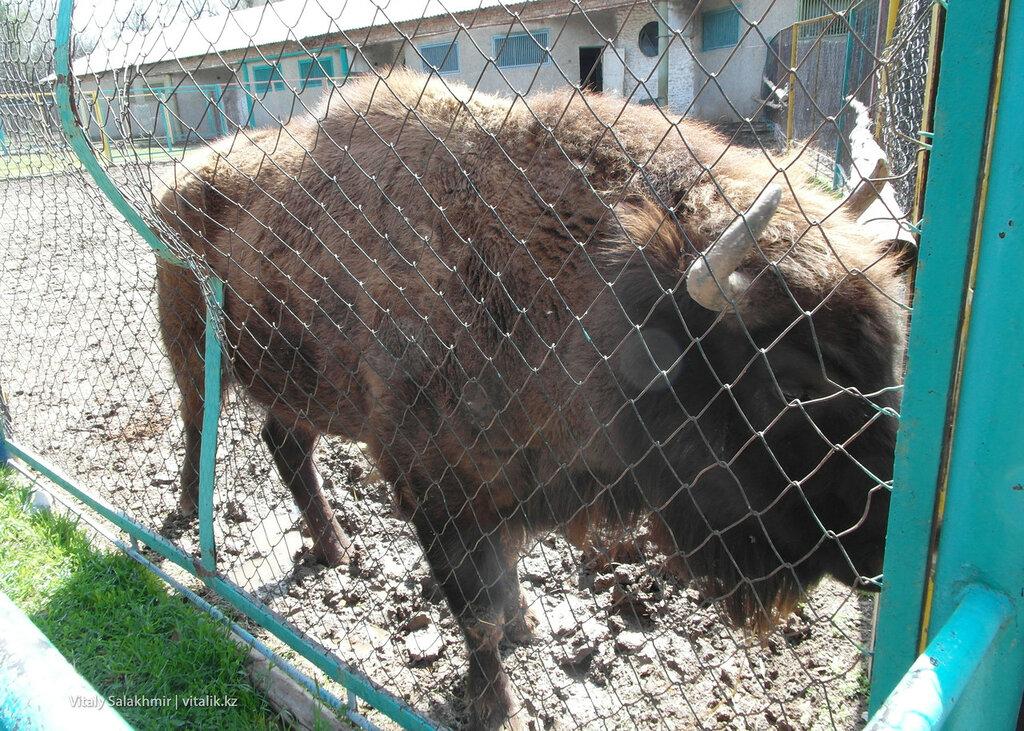 Зубр в зоопарке Шымкента 2018
