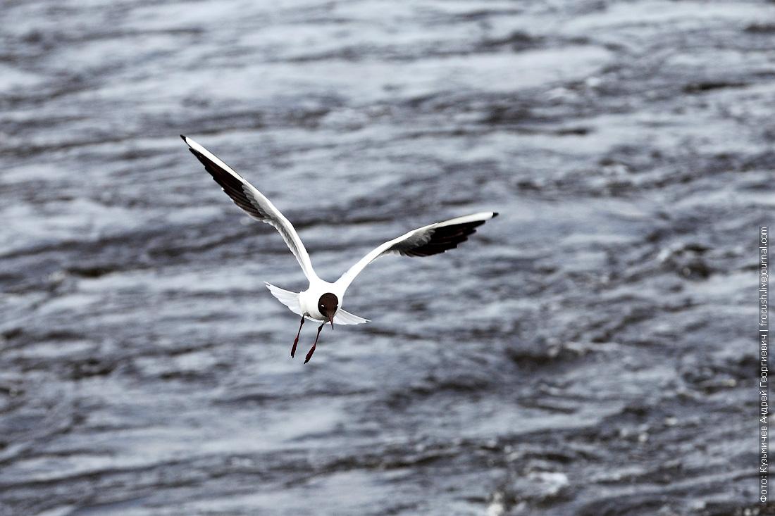 чайка на Волге