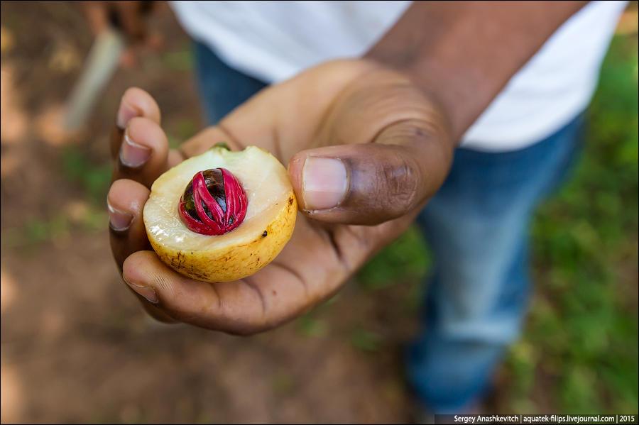 7. Плод мускатного ореха цветом чем-то напоминает грушу-дичку, только он не вытянутый, а круглый. Ес