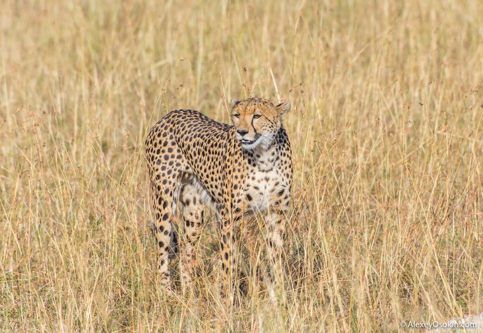 Один день из жизни гепардов