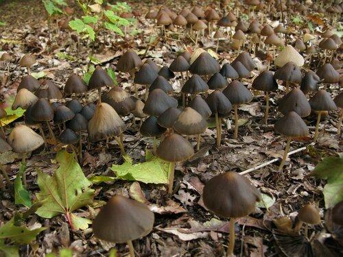 Псатирелла коническая (Psathyrella/Parasola conopilus). Когда десятки квадратных метров покрыты россыпями грибов, это выглядит впечатляюще. Даже если это какая-нибудь невзрачная псатирелла Автор фото: Станислав Кривошеев