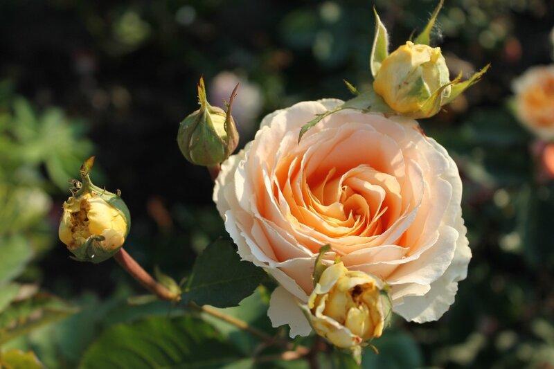 """""""Dany Hahn"""", Dominique Massad, Франция, 2004  Розы, которые мне хочется!"""