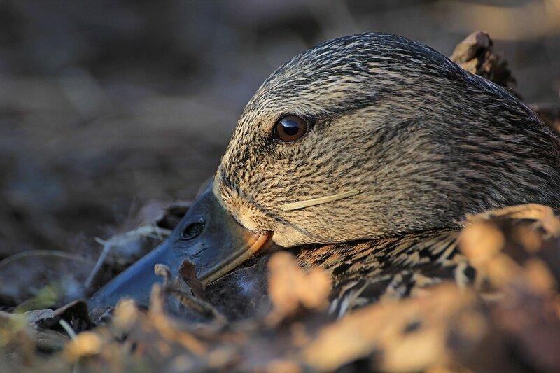 Голова утки с прилипшей травинкой