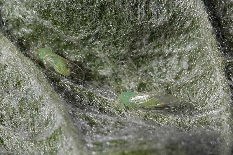 Две светло-зелёных тли с большими белыми глазами и прозрачными крыльями сосут сок из листа яблони