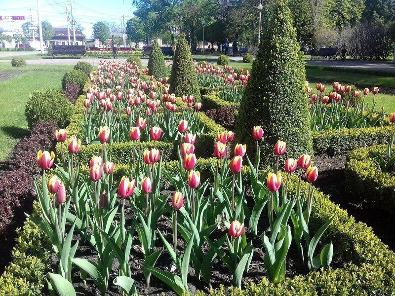 Ставрополь.Тюльпаны