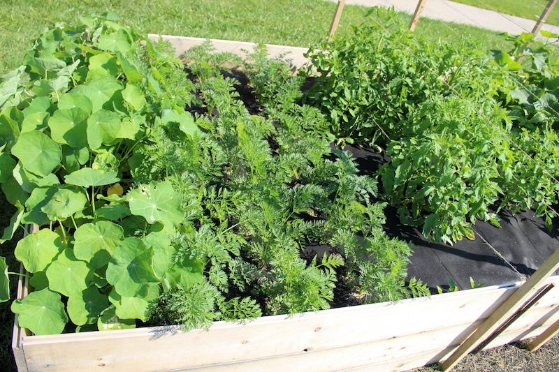 Настурция в саду-настурция, морковь