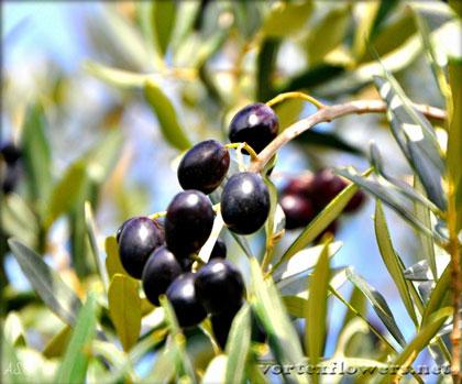 легенды об оливке