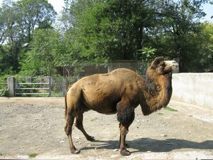 Одесский зоопарк - верблюд