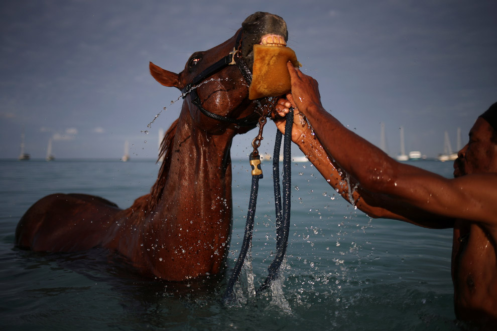4. Лошади умеют плавать. Но не очень хорошо, недалеко. (Фото Adrees Latif | Reuters):