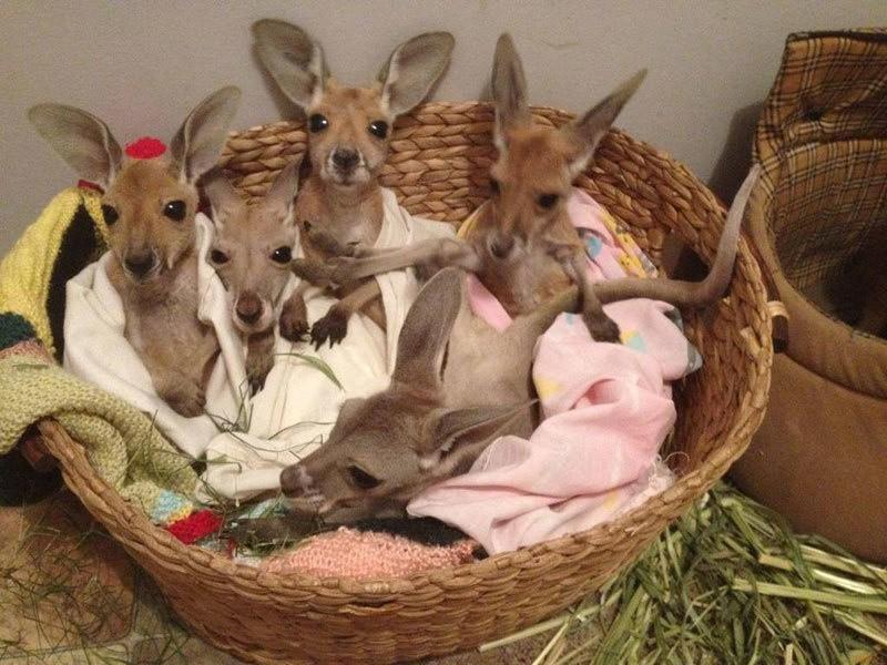 8. Крис создал спасательный центр для маленьких кенгурят, но в скором времени обнаружил, что места н