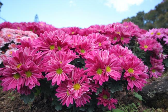 Это растение нетолько будет долго радовать своими цветами иукрашать дом, ноиэффективно бороться