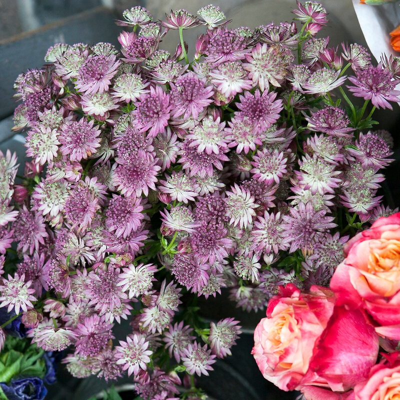 Beautiful bouquet of Astrantia flower