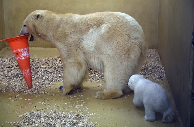 A polar bear cub walks behind her mother Valeska, in an enclosure at Bremerhaven's (Bremen&#x27