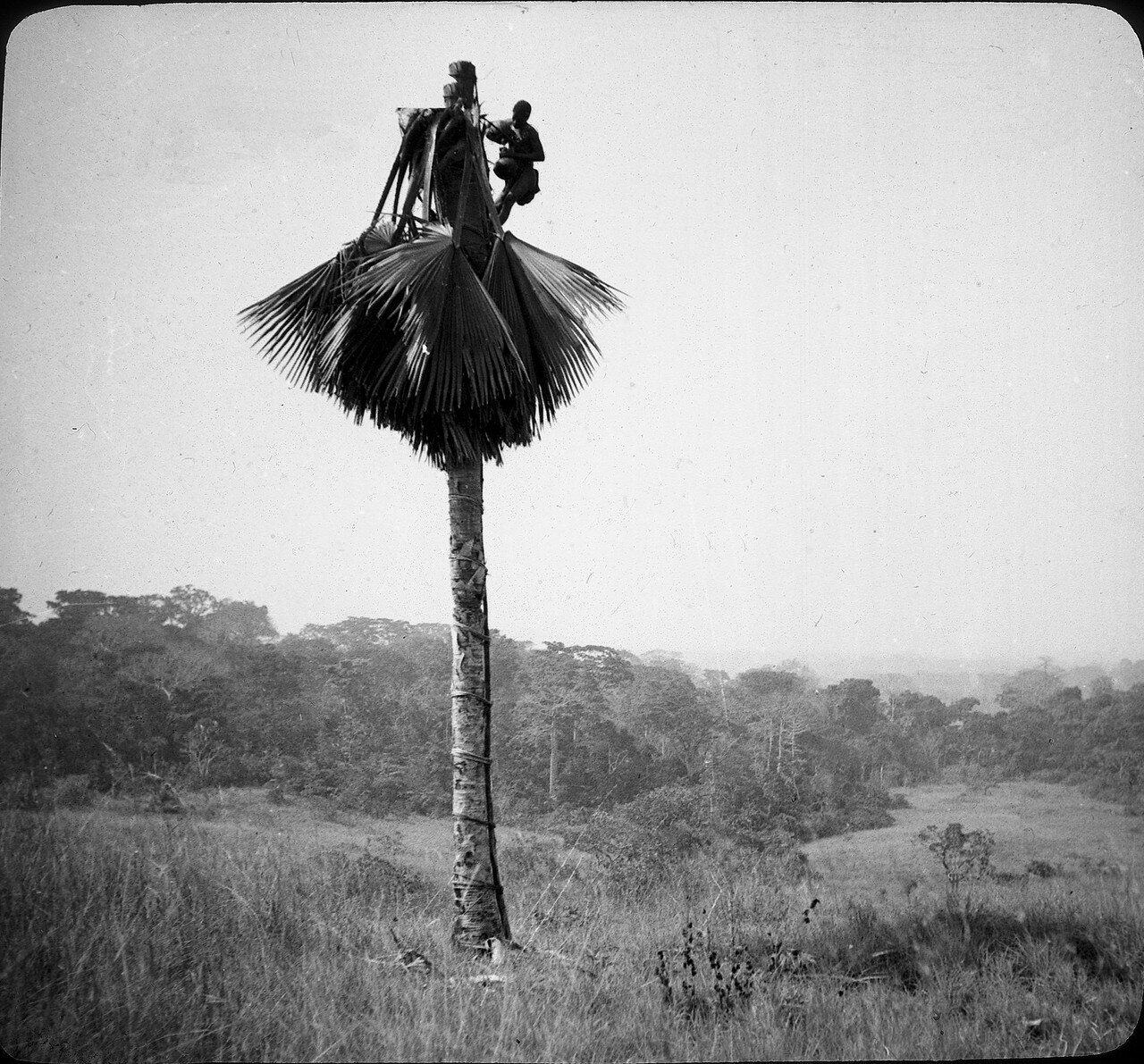 Берег Слоновой Кости. Ассинзе. Сбор пальмового вина