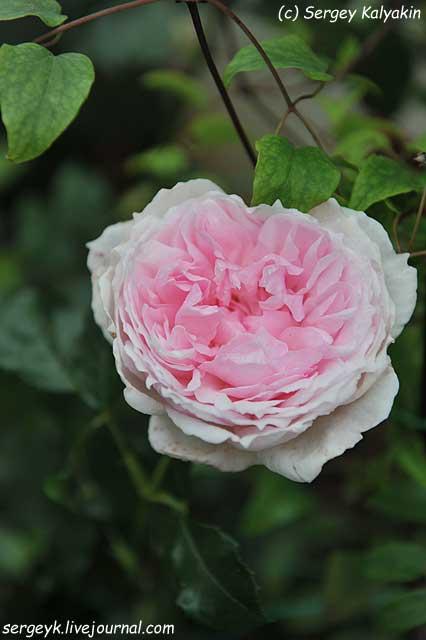 Rosa The Wedgwood Rose (16).JPG