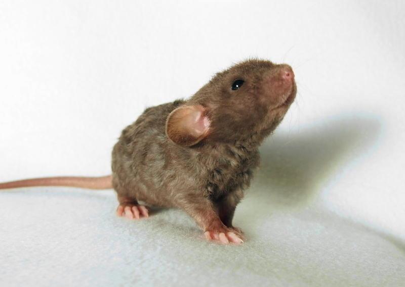 18. Крыса