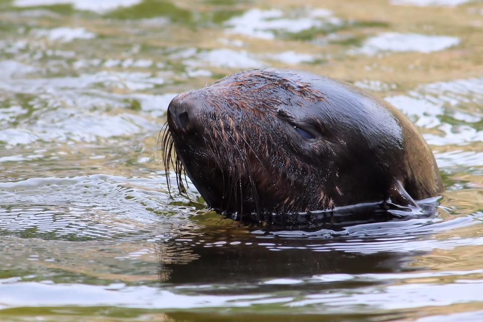 ВМосковском зоопарке родился морской лев, ионуже плавает