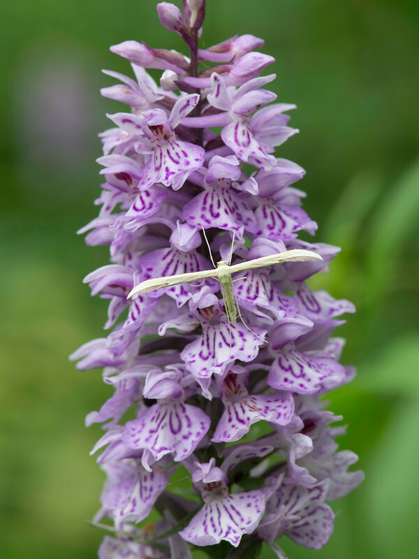 Пальчатокоренник Фукса - Dactylorhiza fuchsii (Orchidaceae)