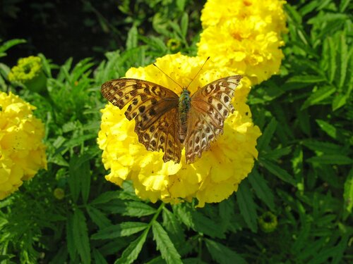 Жёлтые бархатцы с усталой бабочкой.