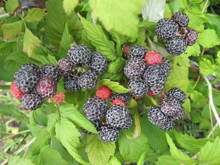 кумберленд сорт черной малины фото