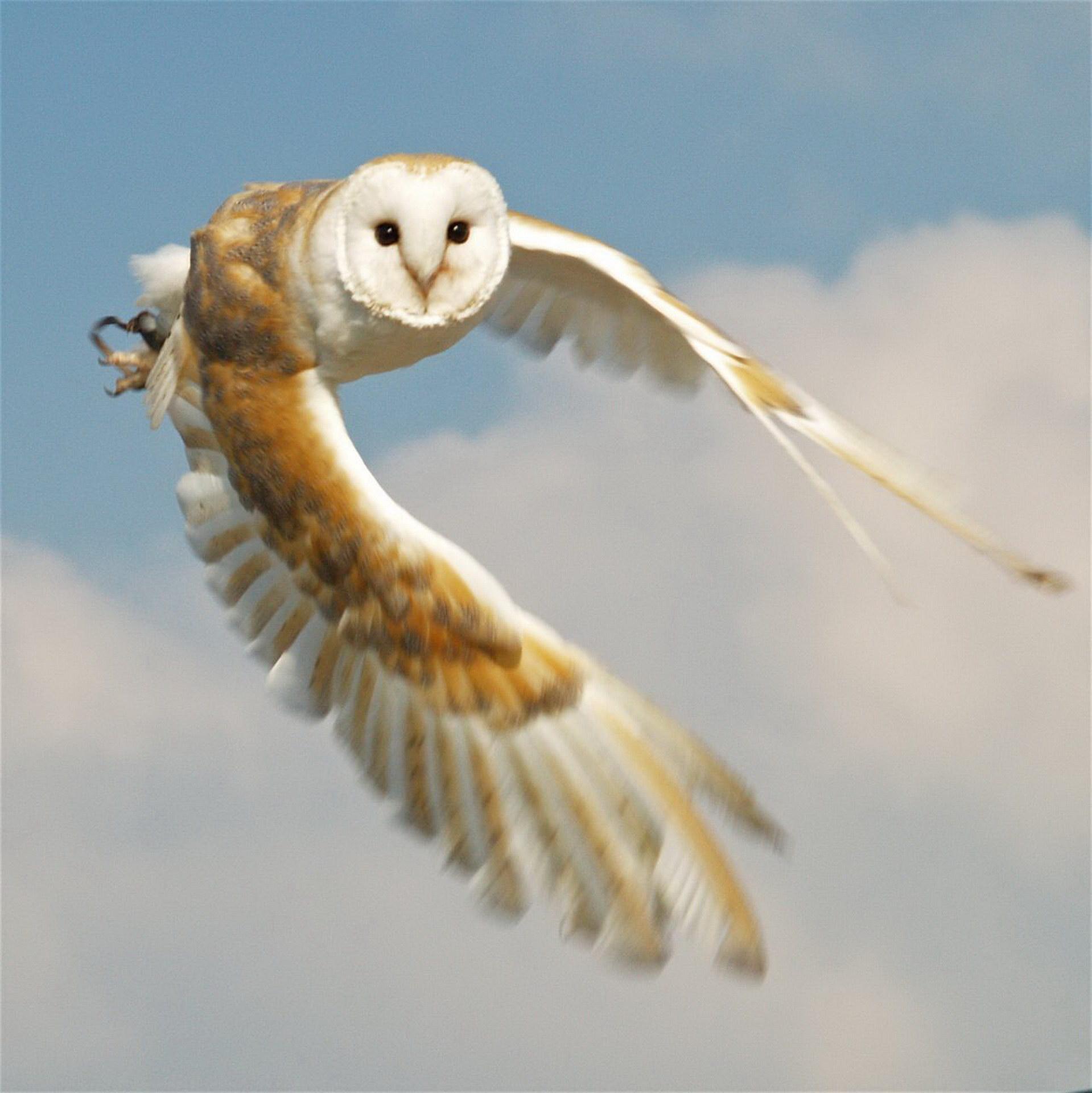 Сипуха летить
