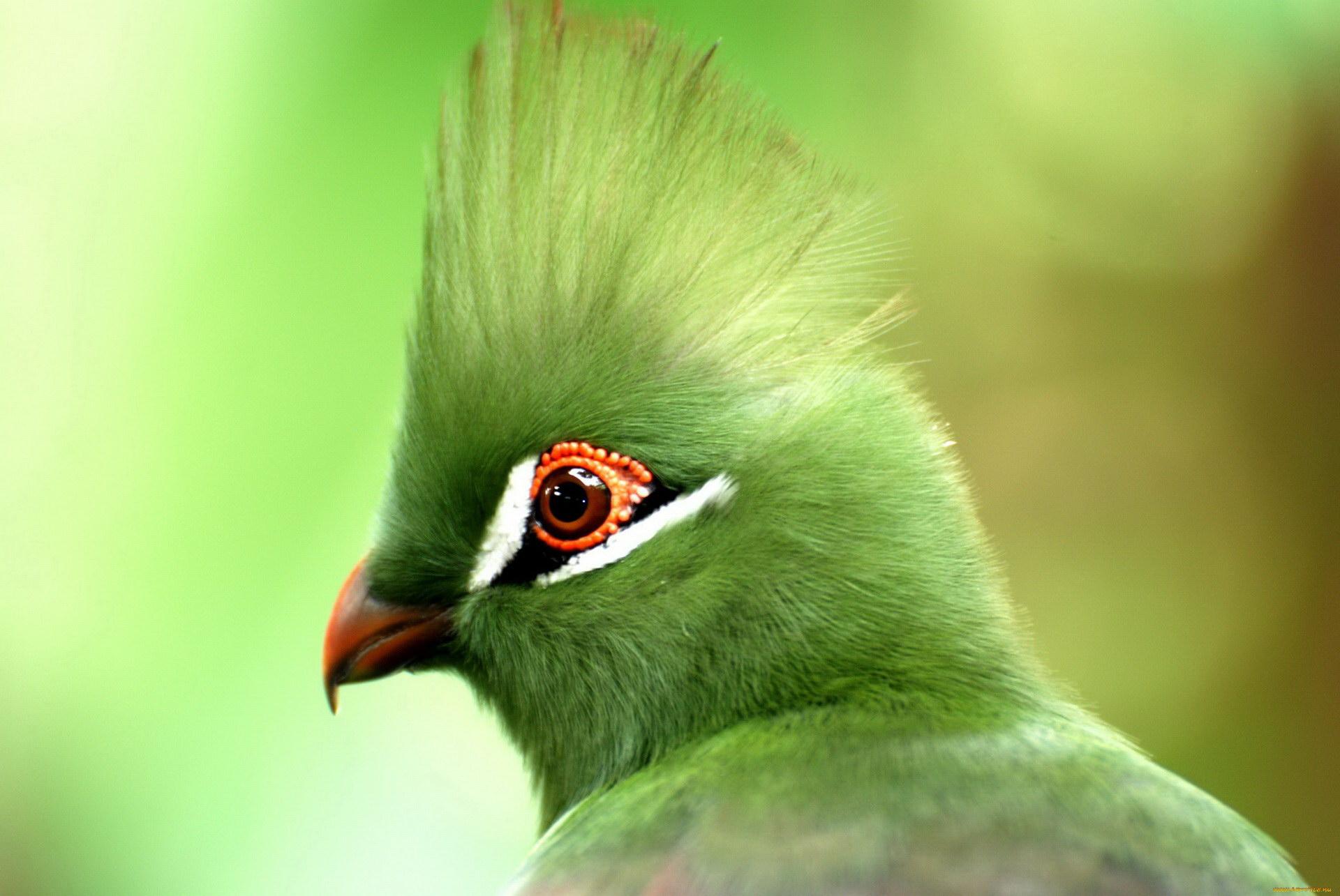 Зелений чубчик
