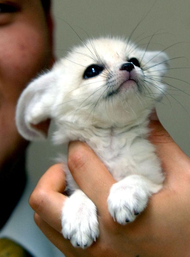 2. Белая лисичка