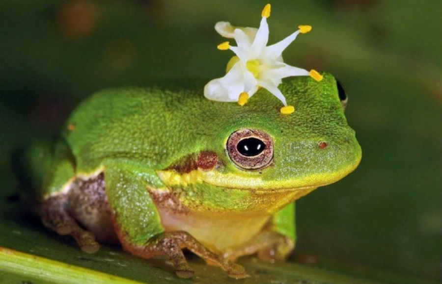 Лягушки Буфадиенолиды (от лат. bufo — жаба) – вещества, вызывающие галлюцинации. Они вырабатываются