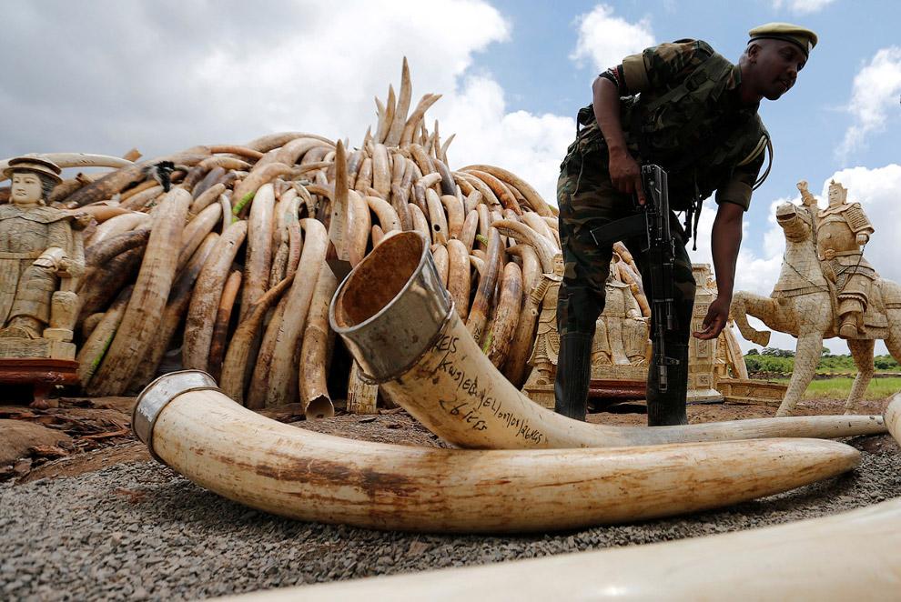 Из конфискованной браконьерской слоновой кости складывают горы для будущих костров, Кения, апрель 20