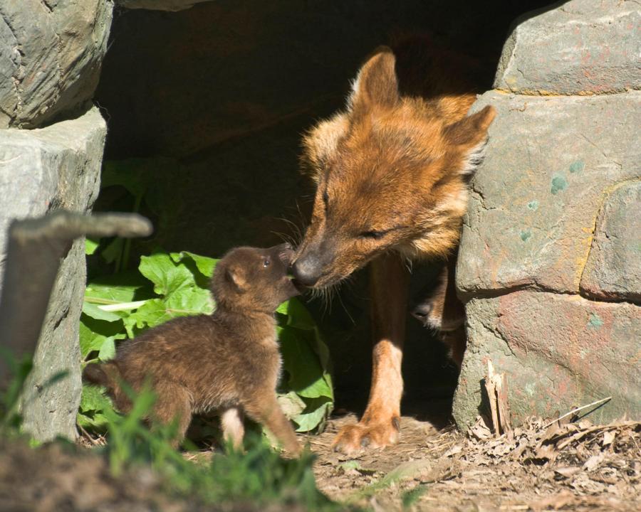 6. Красный волк Красный волк, распространенный на территории Азии, исчезает в большей степени из-за