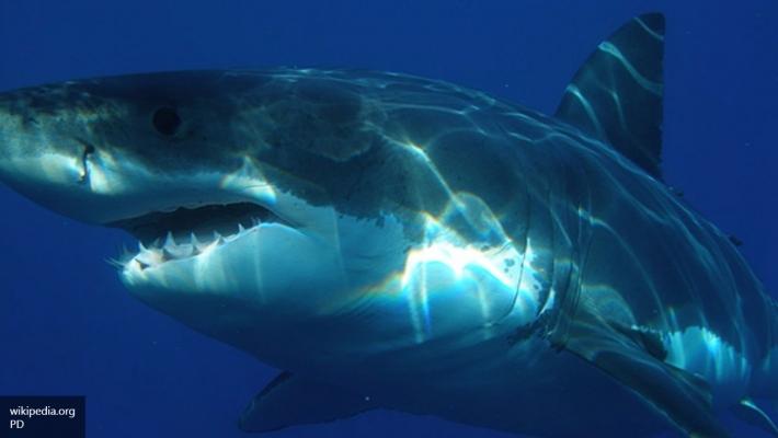 Ученые: Кровь акул можно использовать влечении раковых заболеваний