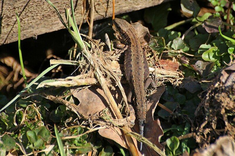 Беременная ящерица с отросшим взамен утраченного хвостом