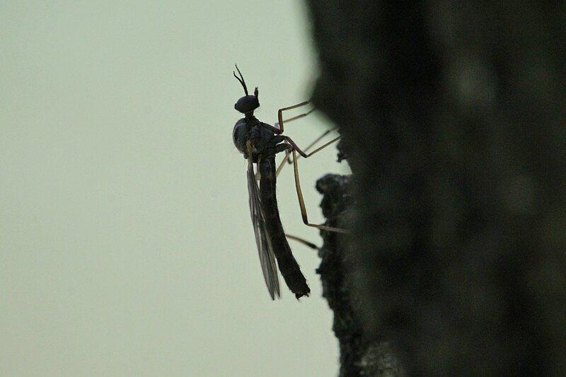 Комар-самец на коре дерева