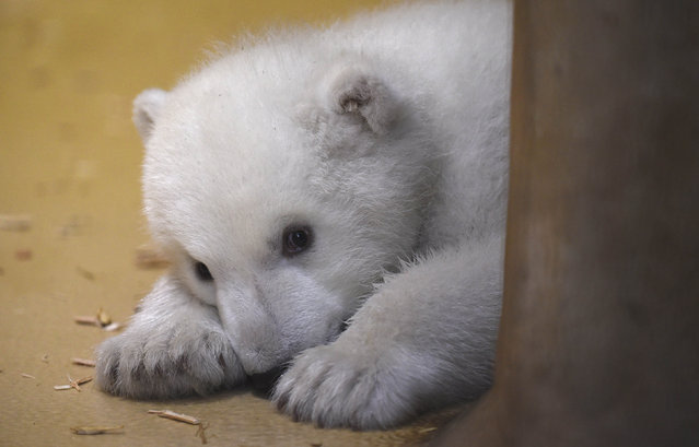 A polar bear cub lies in an enclosure at Bremerhaven's (Bremen's) Zoo by the Sea, Germany