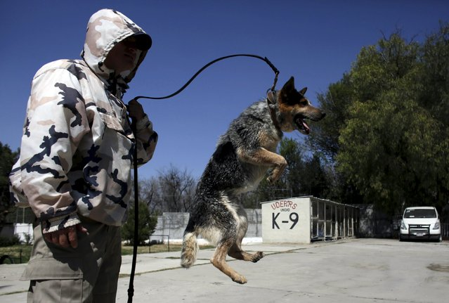 A dog trainer works with a previously abandoned dog at a police centre in Saltillo, Mexico March 4,