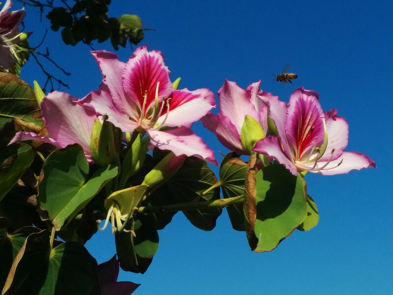 баухиния орхидейное дерево фото лучшая фото подборка