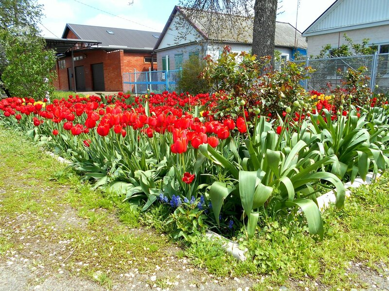 Весна, апрельские тюльпаны ... DSCN5206.JPG