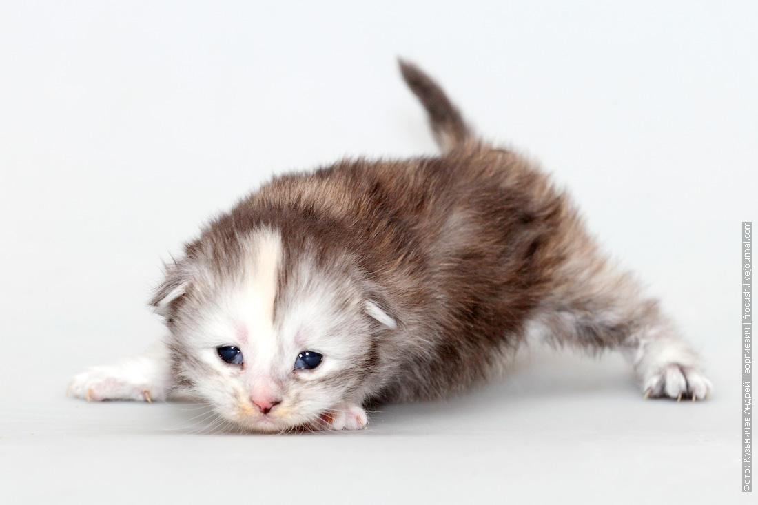 котенок мейн-кун фото