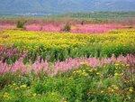 Полевые цветы в августе.JPG