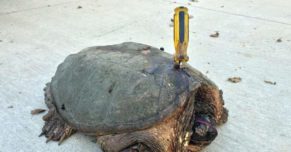 Какой-то урод всунул в черепаху отвертку, но добрые люди спасли её
