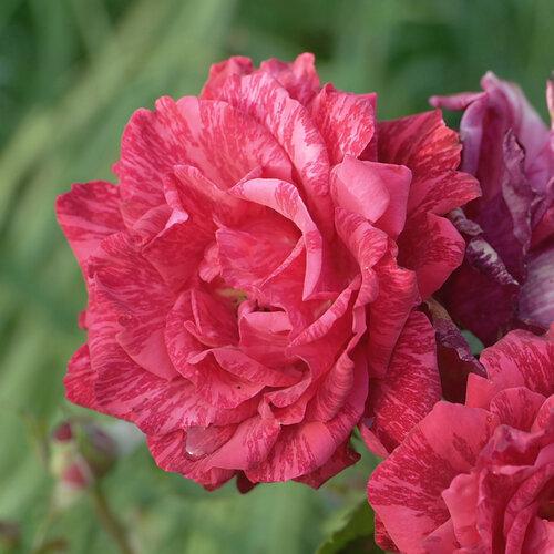 Удивительный мир роз