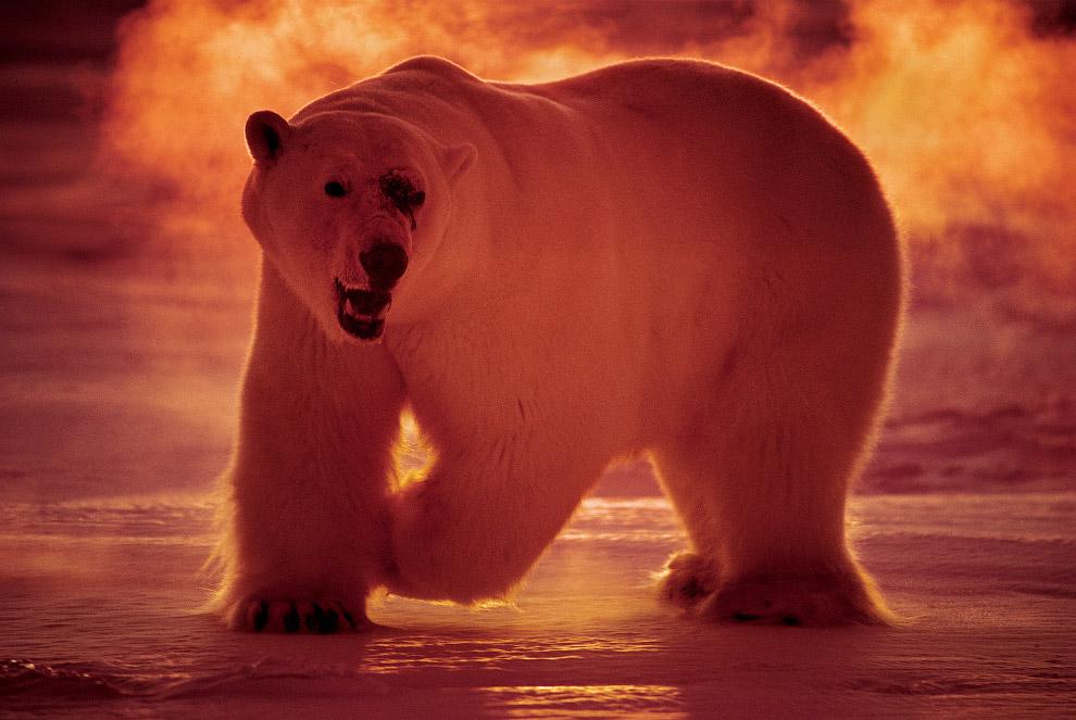 19. Белые медведи.
