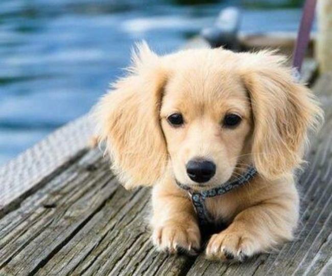 Сложно поверить, что мама такой очаровательной собаки— обычная такса, апапа— золотистый ретривер.